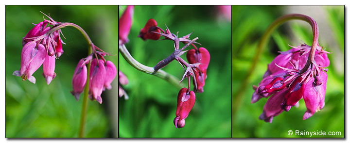 Western bleeding heart flowers