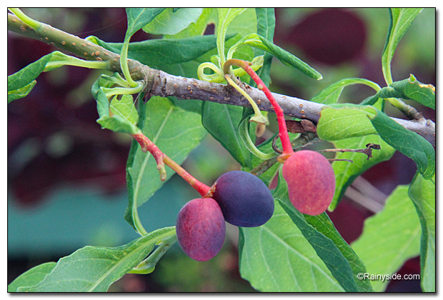 Osoberry fruit
