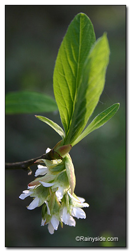 Osoberry flowers and leaves