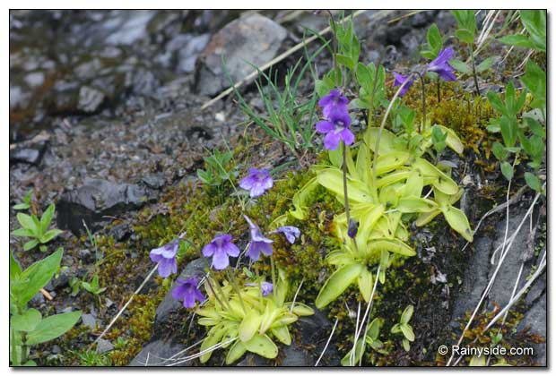 Pinguicula vulgaris growing on a gravelly seepage.