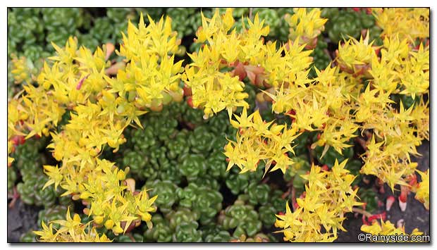 Sedum oreganum ssp. tenue flowers