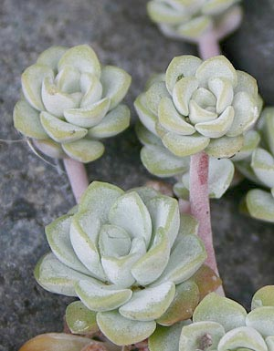 gray rosettes of Sedum spathulifolium 'Cape Blanco'