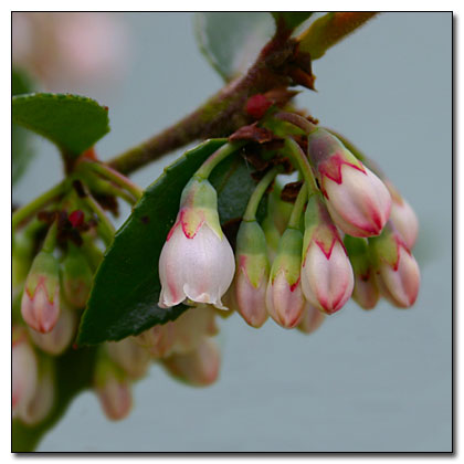 huckleberry flower