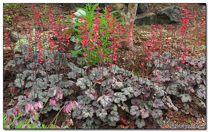 Heuchera 'Hollywood' — CORAL BELLS — Rainyside.
