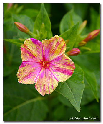 Mirabilis jalapa broken colors four oclocks flower mightylinksfo