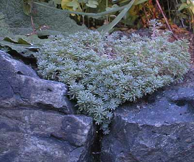 Sedum 'Blue Carpet'