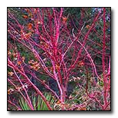 red twigs of the coral bark maple