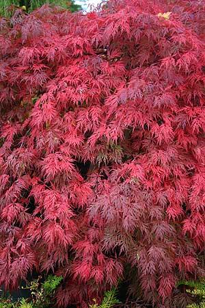 Acer Palmatum Orangeola Japanese Maple