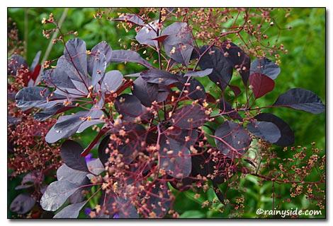 Cotinus Coggygria Royal Purple Smoke Tree