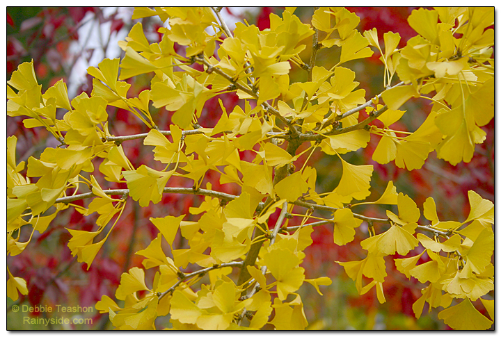 fall color Ginkgo biloba 'Tubifolia'