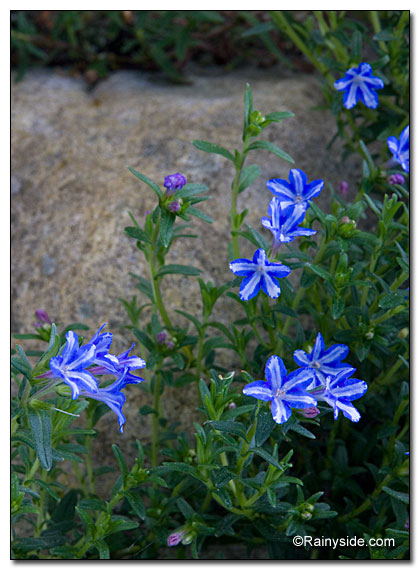 Lithodora 'White Star'