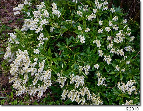 Pieris 'Prelude' shrub