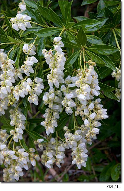 Pieris 'Prelude' flowers