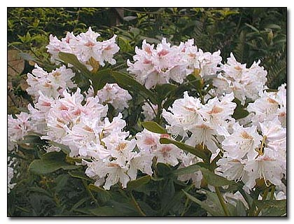 Rhododendron 'Cunningham's White'
