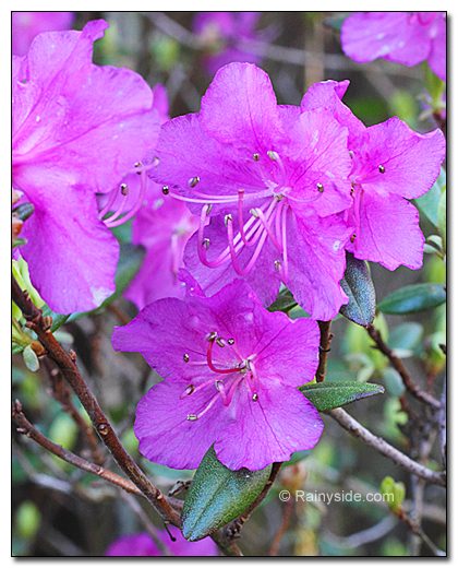 winter flowering rhododendron