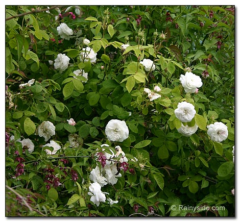 heritage shrub rose