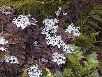 Sambucus Nigra Purpurea Black Elderberry