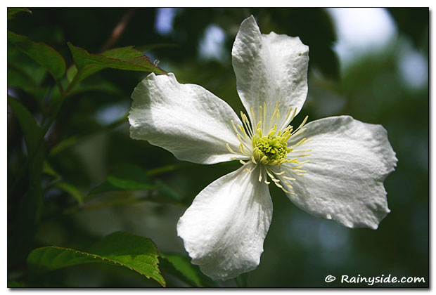Clematis white flower
