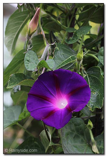 Morning glory flowers.